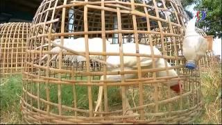 getlinkyoutube.com-คลินิก เกษตร | เทคนิคการเลี้ยงไก่พื้นเมืองสวยงามส่งออก