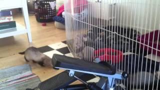 getlinkyoutube.com-Baby ferrets calling their mother