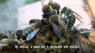 getlinkyoutube.com-Таинство рождения ее пчелиного высочества