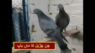 getlinkyoutube.com-Pakistani pigeons 2015 jangi cheema italy