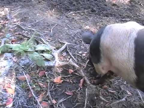 Pigs in the No-Till Permaculture System