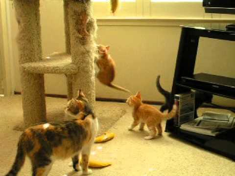 green eyes and her kittens at play on 061713 2013 078