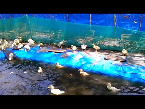 vigova ducks farming 9846471575