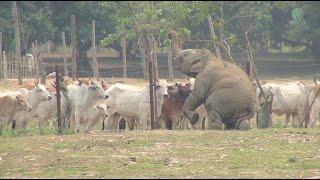 getlinkyoutube.com-Baby Elephant And Cows