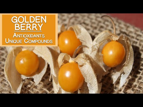 Golden Berry Plant, High in Antioxidants and Unique Plant Compounds