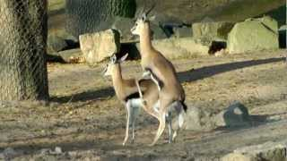 getlinkyoutube.com-Thomson-Gazelle Paarungsversuche