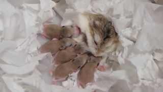 getlinkyoutube.com-ロボロフスキーハムスターの赤ちゃん★生後0日から29日までの記録 roborovski hamster baby 햄스터 가 아기를 낳았다.
