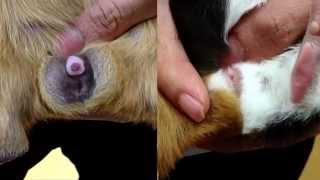How to sex guinea pigs / Male vs Female difference - New Farm Vet