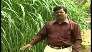 getlinkyoutube.com-5  Co 4 Kambu Napier grass 4 09