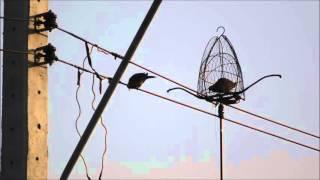 getlinkyoutube.com-ต่อนกเขาใหญ่ เพนียดเสือตบตูด