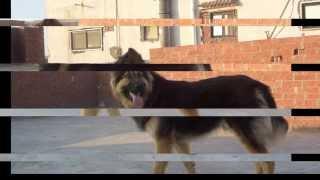 getlinkyoutube.com-تدريب كلب بلجيكي علي مستوي عالي