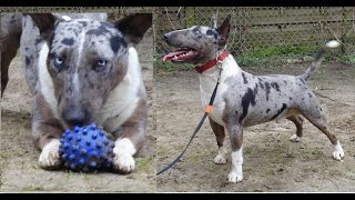 getlinkyoutube.com-Pelea de perros Bull terrier mascota o asesino