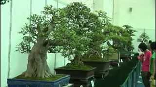getlinkyoutube.com-Bonsai Cina - Part 1_Ottava Guangdong, Hong Kong Bonsai (Chencun).