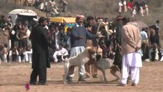 Dog fights illegal but still popular in Pakistan