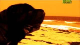 Dogs 101 - Shar-Pei width=
