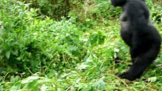 getlinkyoutube.com-Silverback mountain gorilla charging in Rwanda