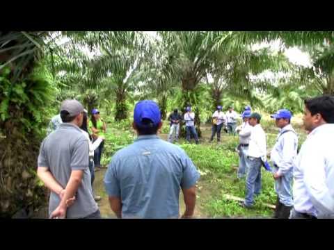 Becano es una moderna e Innovadora solución para el control de un amplio espectro de malezas en el cultivo de Palma