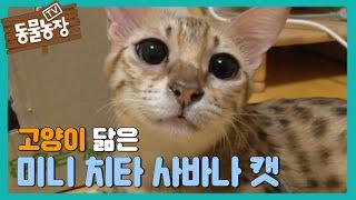getlinkyoutube.com-고양이 닮은 미니 치타 사바나 캣, 집착 모성애 @TV동물농장 140504