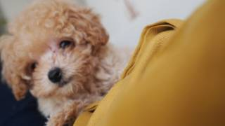 getlinkyoutube.com-Domo the Teddy Bear Puppy