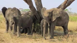 getlinkyoutube.com-Endangered Elephants of East Africa