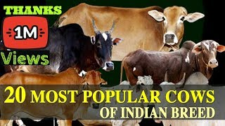 getlinkyoutube.com-20  MOST POPULAR COWS OF INDIAN BREED ( IN HINDI )