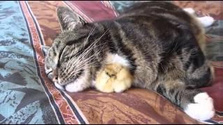 getlinkyoutube.com-잠자는고양이와 병아리