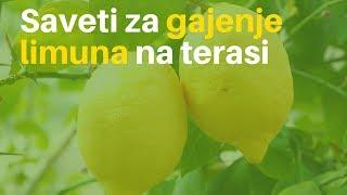 getlinkyoutube.com-Otkrivamo! Limun možete gajiti i na terasi!_405_20.06.2015.