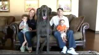 getlinkyoutube.com-Najwiekszy pies na swiecie