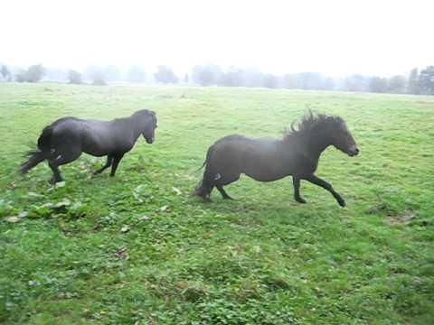 Dartmoor stallion calling mare herd02