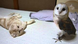 getlinkyoutube.com-My barn owl and cat