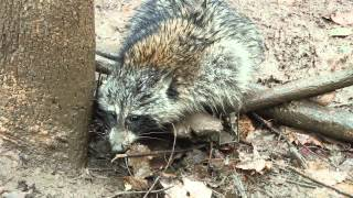 getlinkyoutube.com-Trapping TV Episode 4- Early Season Coon Trapping(Part 1)