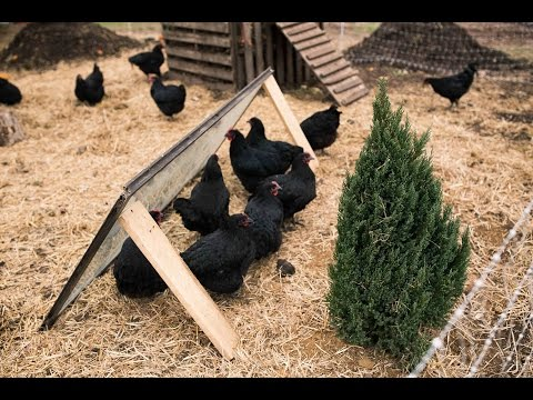 Permaculture Chickens