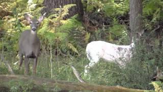 getlinkyoutube.com-Canon SX50 200x Zoom Test FULL HD Piebald Buck Albino Deer