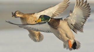 getlinkyoutube.com-Kansas Waterfowl Overload