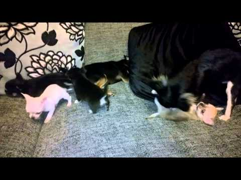 Watch the Puppies at 5 Weeks Old Socialising video