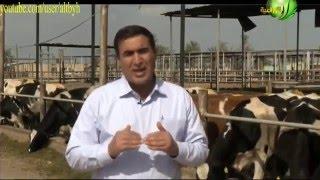 getlinkyoutube.com-تربية الابقار الهولشتاين المستوردة مصر واهم المعاملات داخل المزرعة