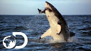 getlinkyoutube.com-Incredible Footage of Sharks Leaping Out the Water