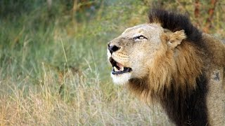 getlinkyoutube.com-Lioness fight the male Lion to defend herself  (Mr T of Mapogo Lions)