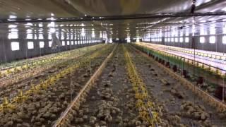 getlinkyoutube.com-Philwide Broiler Farm, Goldenbarn Project, San Miguel Bulacan, Philippines