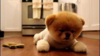 Boo der süßeste Hund der Welt ist müde