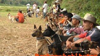 getlinkyoutube.com-Tradisi Berburu Babi Massal di Sumatera Barat | Berburu Bagong /Adu Bagong