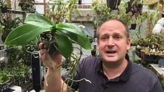 getlinkyoutube.com-ORCHID ROOT CARE: WHAT TO DO WITH THOSE ORCHID AERIAL ROOTS