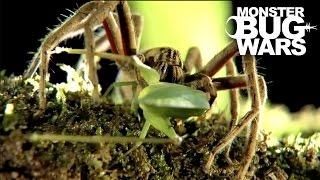 getlinkyoutube.com-Black Tailed Scorpion vs  Red Thighed Wandering Spider | MONSTER BUG WARS