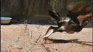 getlinkyoutube.com-ครืนดักไก่ป่า แต่ลองดักไก่บ้าน อยากรู้ว่ามันดีขนาดไหน chicken trap