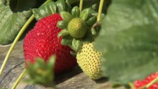getlinkyoutube.com-California Strawberry Harvest