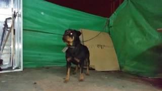 getlinkyoutube.com-اطعام كلب روت وايلر من مسافه بعيده مع جمال العمواسي