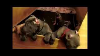 getlinkyoutube.com-Cane Corso Puppies For Sale