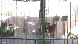 getlinkyoutube.com-Lion ATTACKS lion tamer at Egypt circus in front of audience