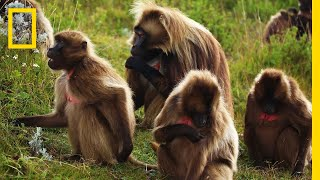An Educational Video About Monkey Sex | National Geographic