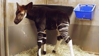 getlinkyoutube.com-Okapi Calf Bursts with Excitement